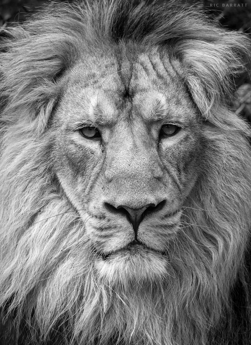 Close-up portrait of majestic lion, looking directly into the camera.