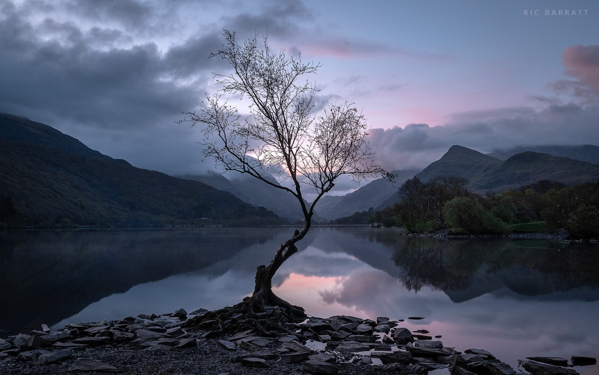 Solitary tree standing at the edge of a perfectly still lake. Pink, cloudy dawn.