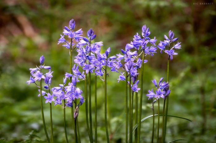 Bluebell Woods Photography Tips